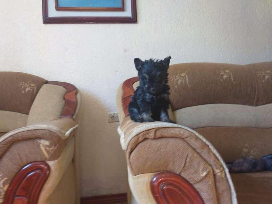 Cachorra Yorkshire Terrier