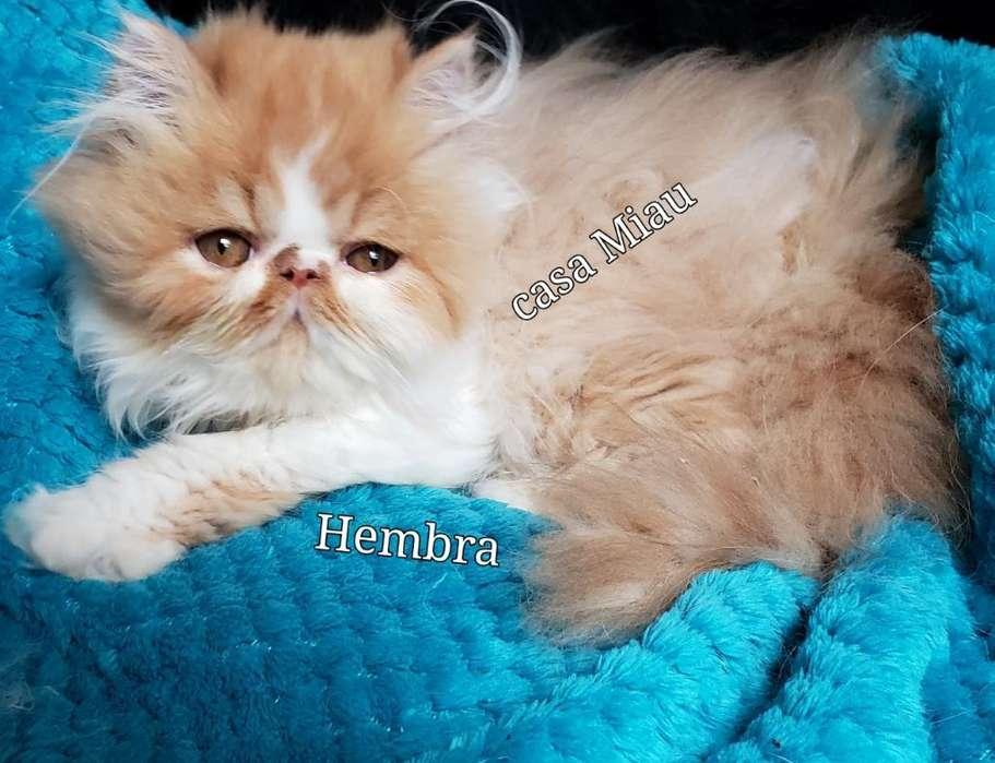 <strong>gato</strong>s Persa,gatitos Persa Bebes