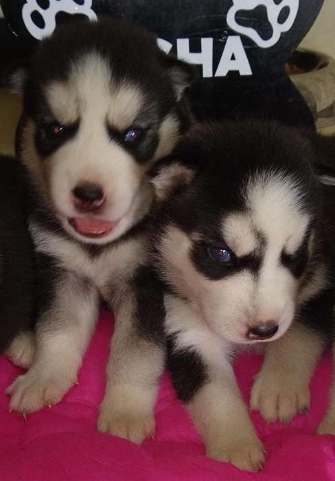 Preciosos lobos en venta tel 3187335227