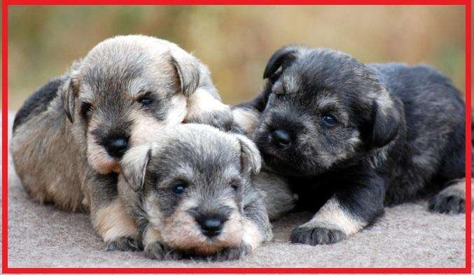 EXCELENTES SCHNAUZER <strong>cachorro</strong>S DISPONIBLES