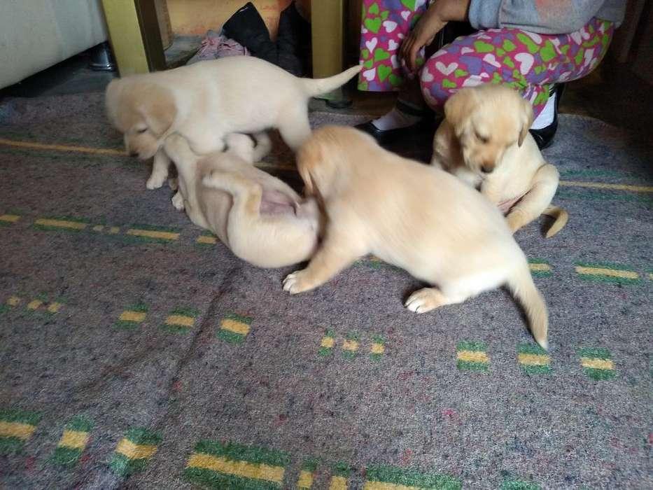 Se Vende <strong>cachorro</strong>s Raza Labrador