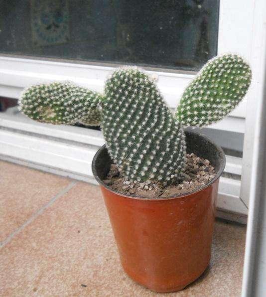 Cactus opuntia microdays albida maceta 10