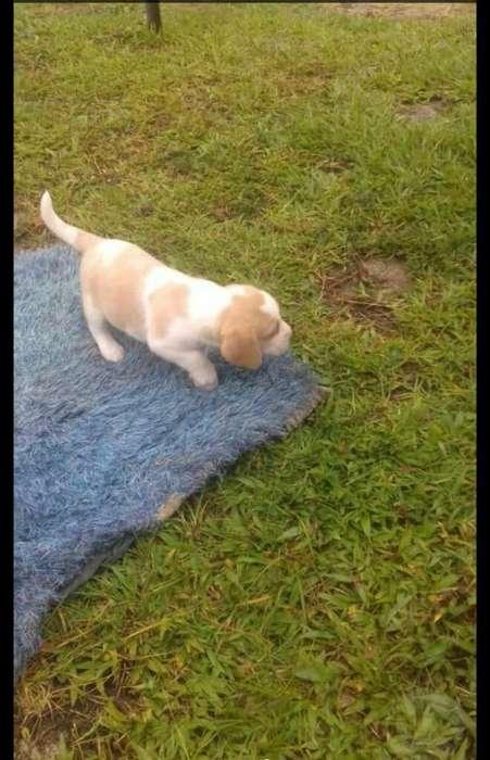 <strong>beagle</strong> Hembras Lemon