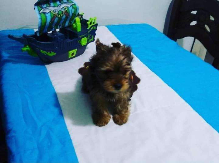 <strong>cachorro</strong> Yorkshire Terrier