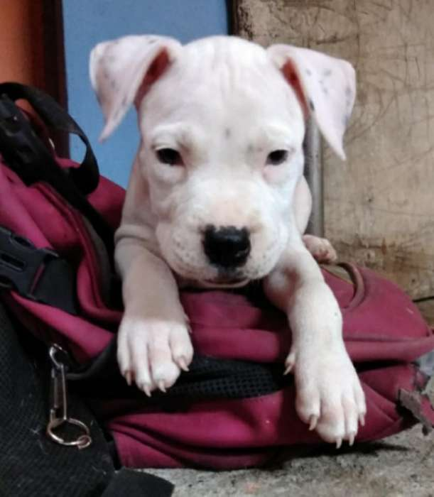 Cachorro Pitbull 100 Inf.0960051304