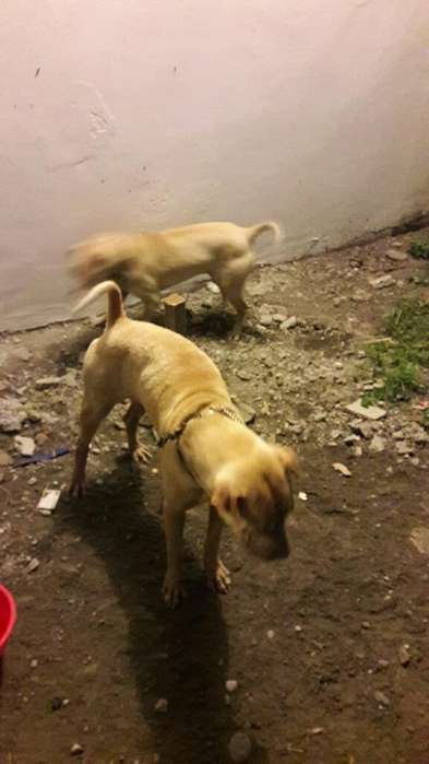 Vendo 2 Perros Sharpei de 1 Año de Edad