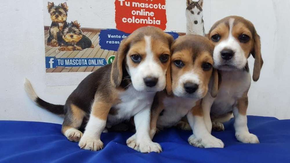 Imperactivos <strong>beagle</strong> Mini Saludables