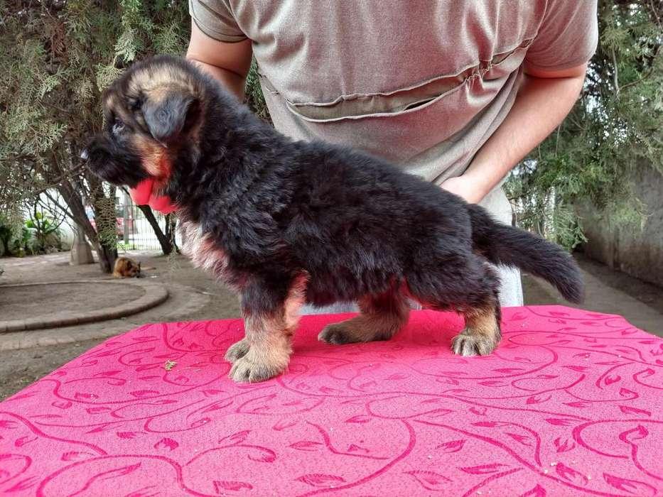<strong>cachorro</strong>s Ovejero Aleman con pedigre.