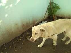 Regalo Perra Labradora Ya de Casi 8 Años