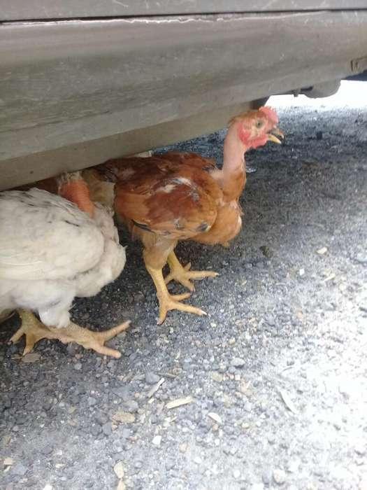 <strong>pollos</strong> Semicriollos Y Broiler Gordos