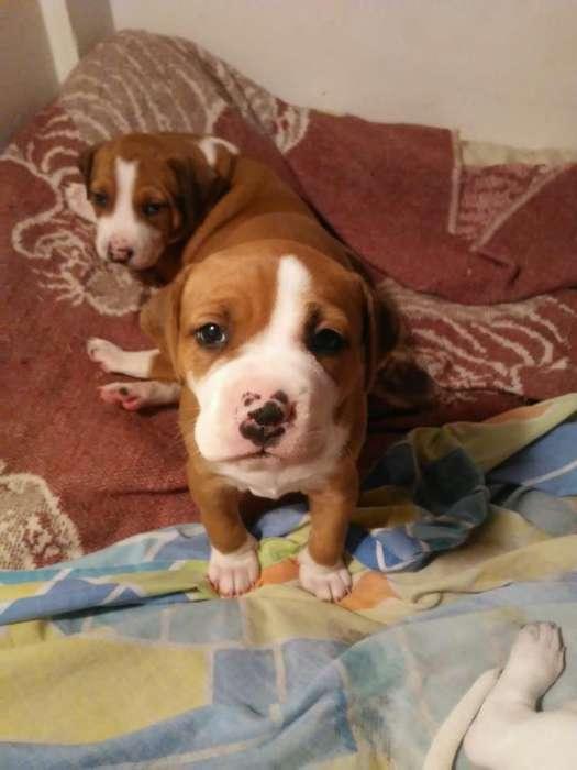Vendo Cachorros Pitbull