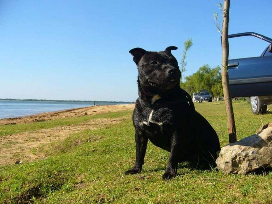Staffordshire Bull Terrier Perro Niñera