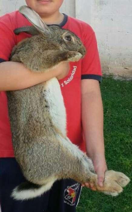 Vendo Pareja de Conejos Gigante de Fland