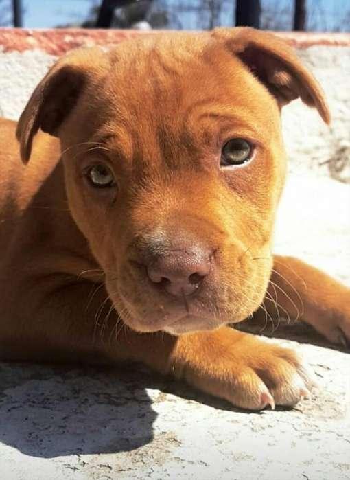 American Pitbull Terrier. Cachorro