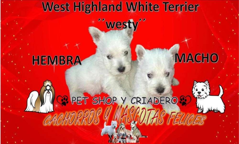 VENDE CRIADERO HERMOSAS Westy West Highland White Terrier, ENTREGA INMEDIATA, ENVIÓ PARA TODO EL PAÍS.