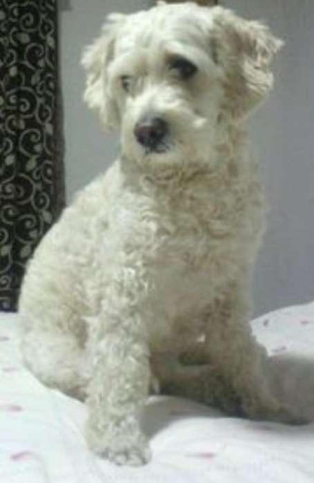 Deseo Adoptar Un Perrito Frech Poodle