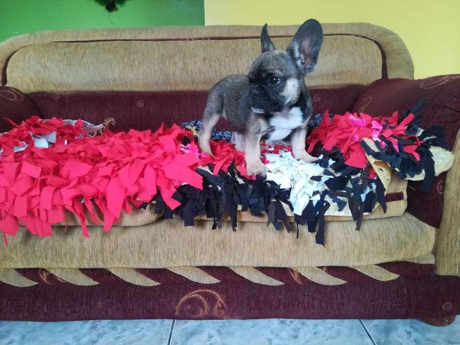 Cachorro Bulldog Frances
