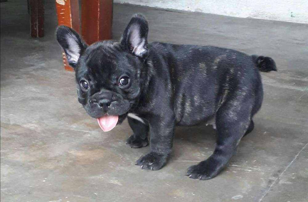Se Vende Cachorro de <strong>bulldog</strong> Frances