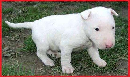 !!!BULLTERRIER <strong>cachorro</strong>S EN VENTA CALI*VALLE DEL CAUCA!!!