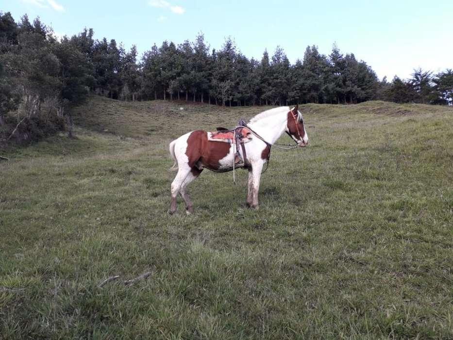 Vendo <strong>caballo</strong> Pinto Castrado de 7años