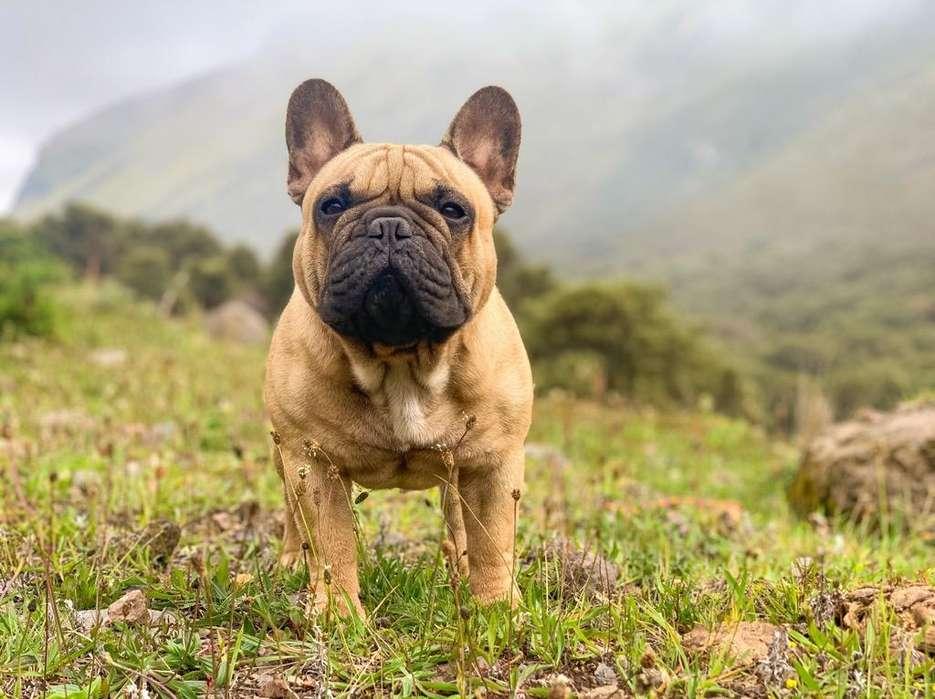 Bulldog Frances Monta Export <strong>pedigree</strong>