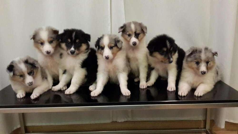 Hermosos Cachorros Collies!!!