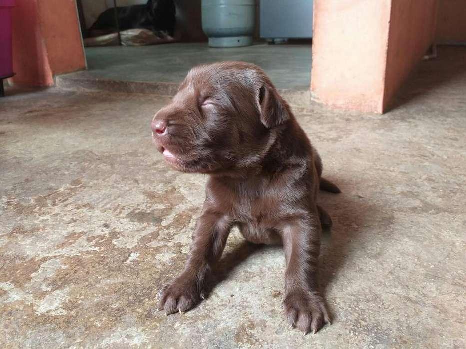 Labradores Marrón Hueso Negros.