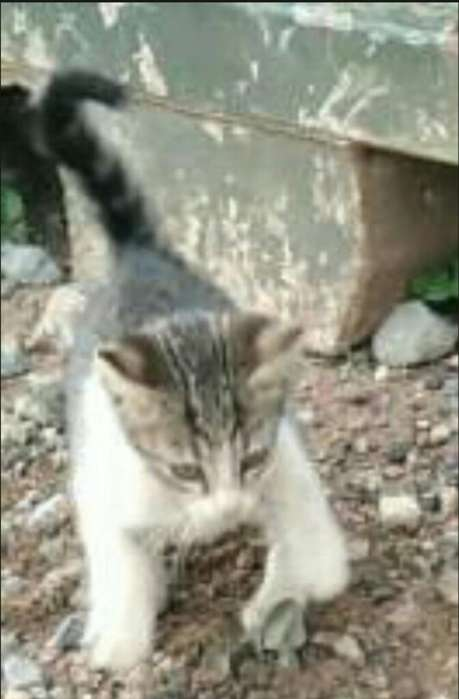 Gatito en Adopción