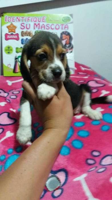 Cachorros <strong>beagle</strong> Tricolor Mini