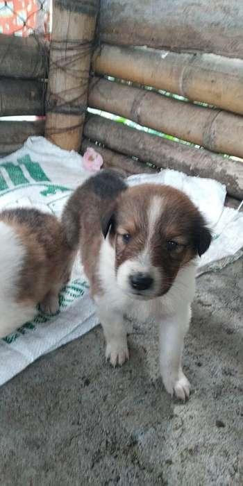 Vendo Cachorro Pastor <strong>collie</strong>