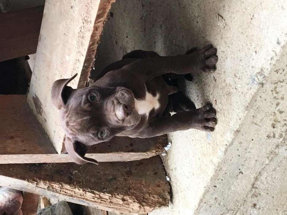 Vendo cachorro <strong>pitbull</strong> el mejor de su camada en NVchimbote