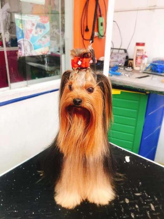 Buscn novia Yorkshire Terrier