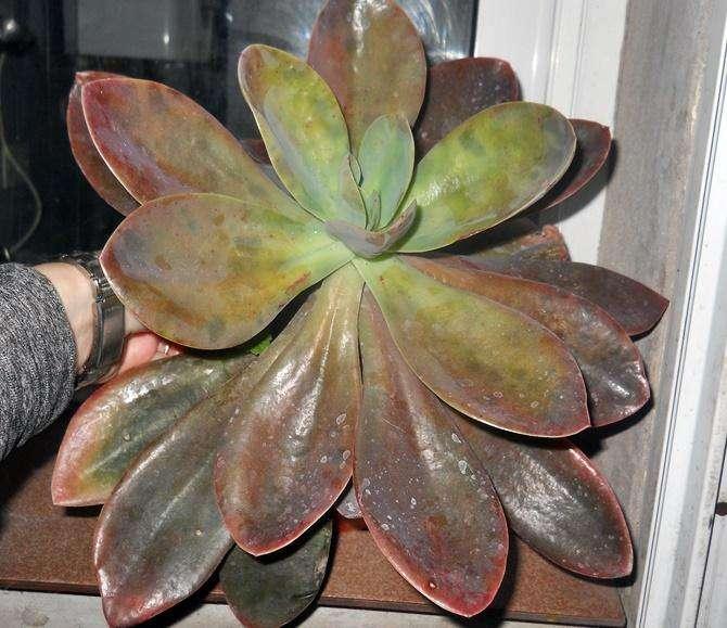 Planta Suculenta Echeveria Metlallica M 18