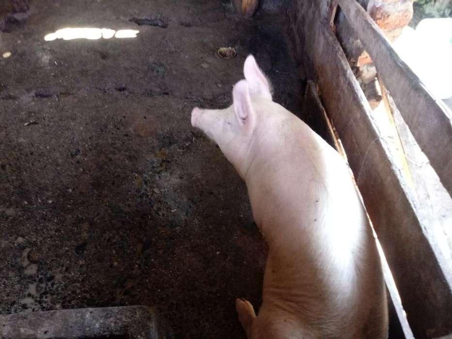 Venta de Cerdo en Pie Y en Canal