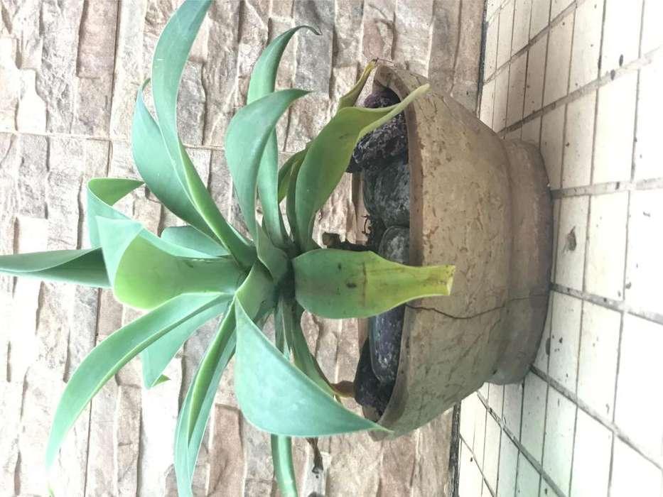 Plantines de Agave