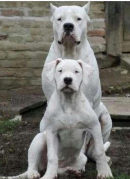Dogo <strong>perra</strong>