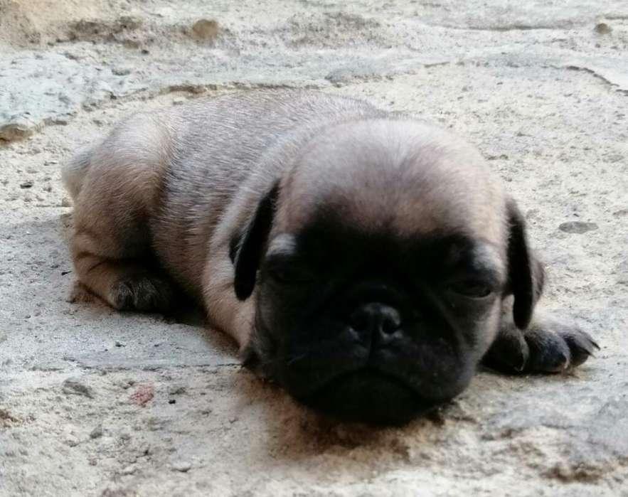 Se Vende.perro Pug.tel.3102149763