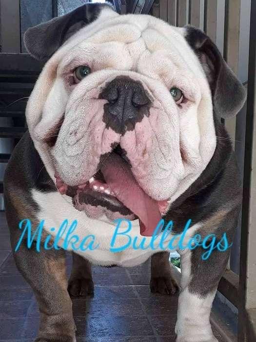 Bulldog Ingles Blue Tri Triple Carrier Busca Novia !!