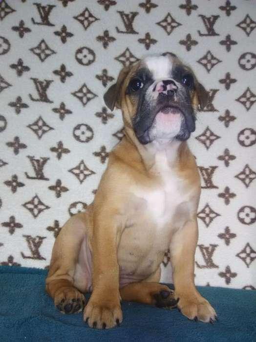 linda <strong>bulldog</strong> a precio muy exclusivo