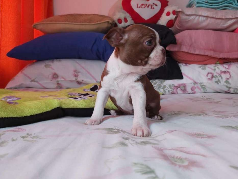 Hermosa Boston <strong>terrier</strong> Roja