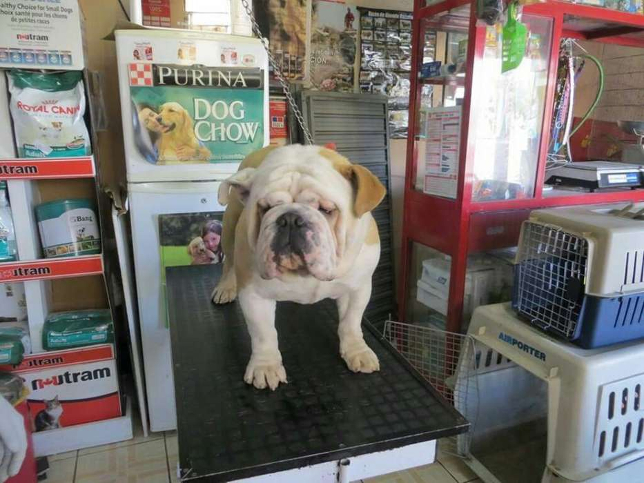 Bulldog Inglés Huancayo 957590924 Monta