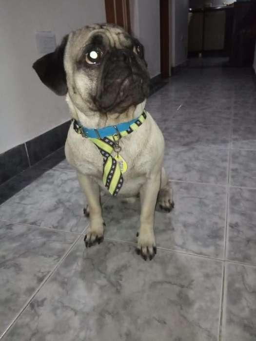 <strong>perro</strong> Pug Busca Novia