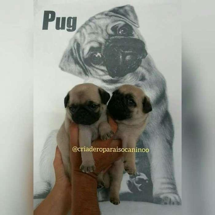 <strong>cachorro</strong>s Pug Patas Cortas Disponibles