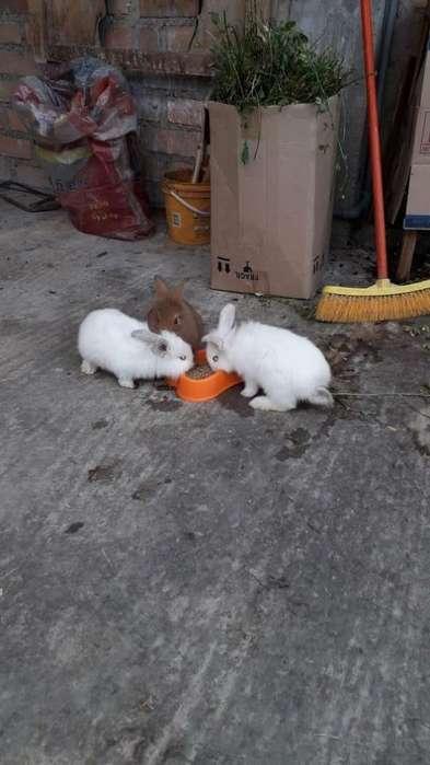 Se venden conejos Angora