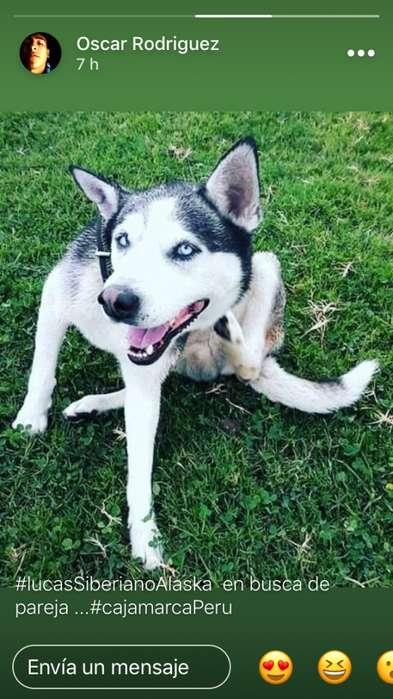 venta cachorros siberiano alaska/ pastor negro