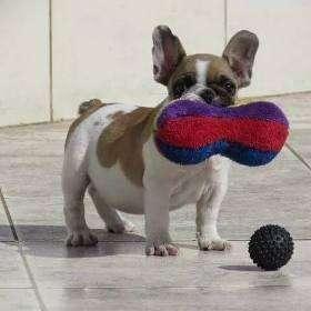 Bulldog Francés En Venta Cachorros Garantizados