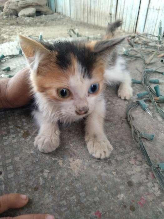 Se Da en Adopción Gatito