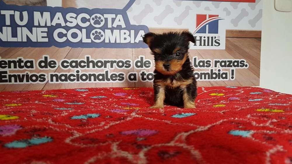 Original Mini tacita Yorkshire terrier disponible