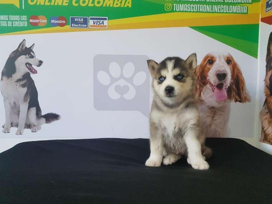 Cachorros Husky Siberiano Originales