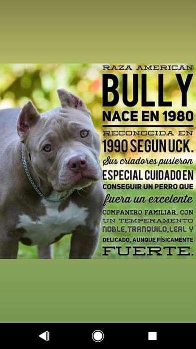 Se Venden Cachorros American Bully!!!